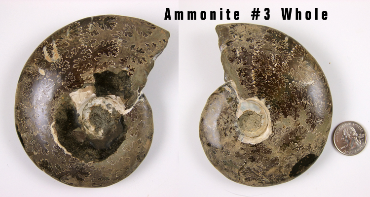 ammonite fossil whole 3