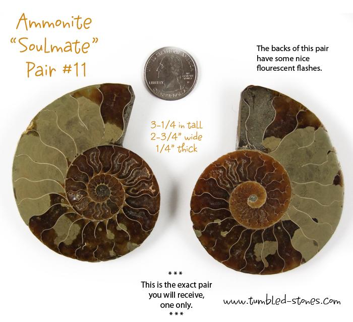 ammonite pair 11-lg