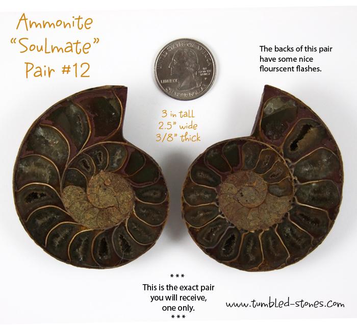 ammonite pair 12-lg