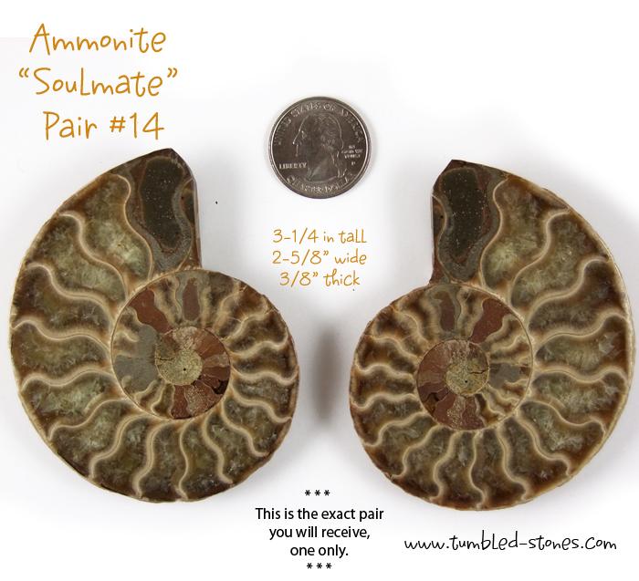 ammonite pair 14-lg